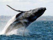 Já imaginou ver baleias jubartes de pertinho, em seu habitat natural, aqui mesmo no Brasil? É possível ver esses enormes e gentis animais da costa da cidade de Prado, na Bahia.