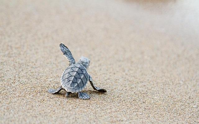as tartarugas marinhas ganham destaque nesse universo natural